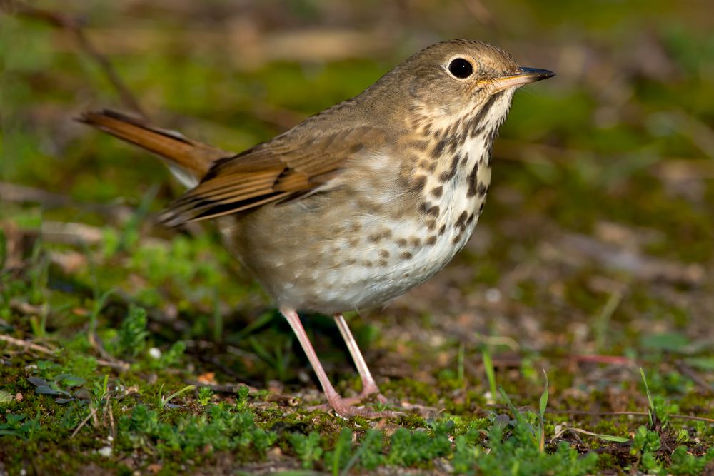 The mnemonic device for remembering the hermit thrush's song is ironic, considering the bird's common name.