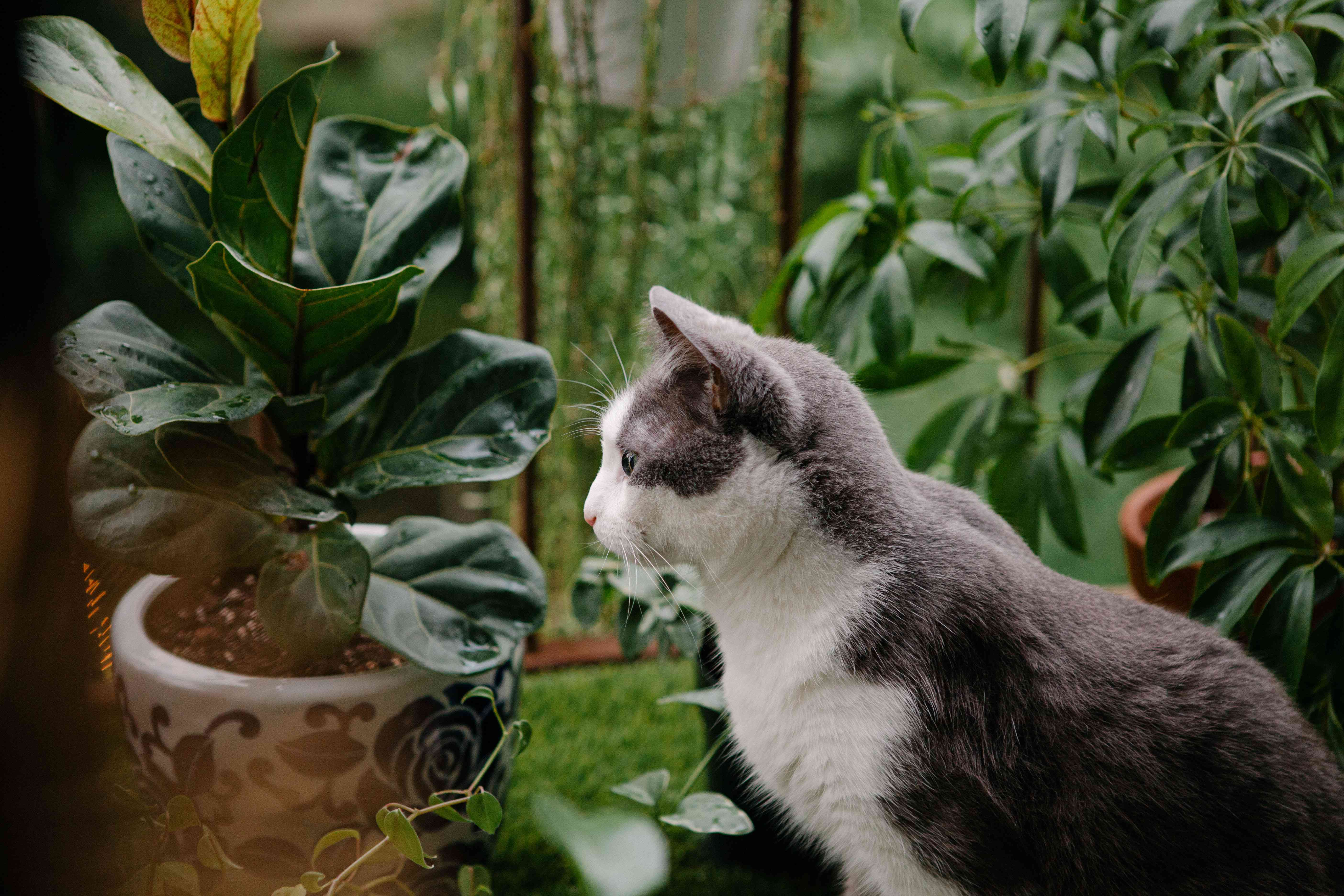 gray and white kitty sits on outdoor balcony net to fiddle leaf fig plant