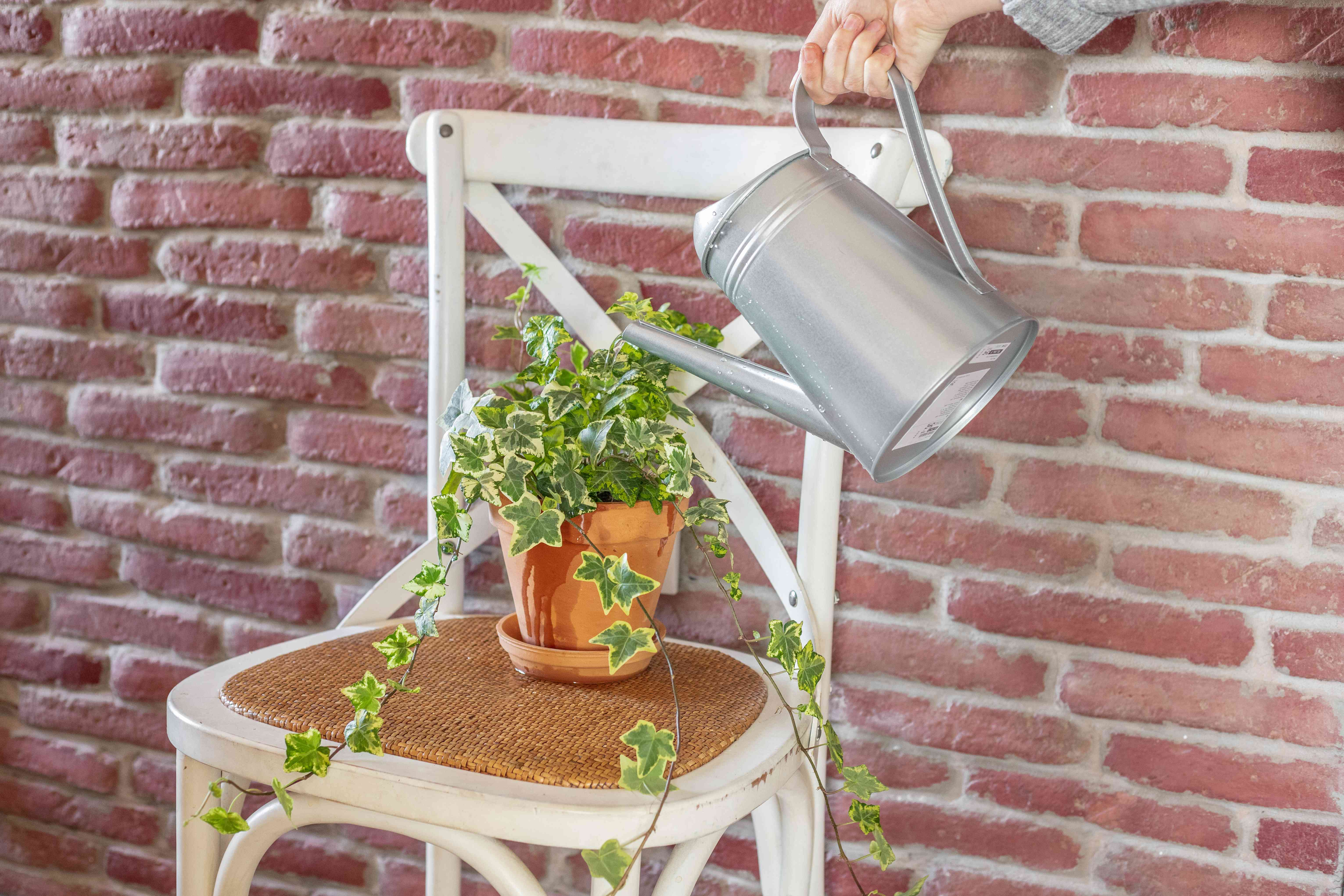 A pot-bound ivy on a chair being watered from a can