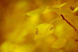 aspen leaf photo