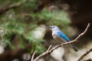 A blue bird singing in a tree.
