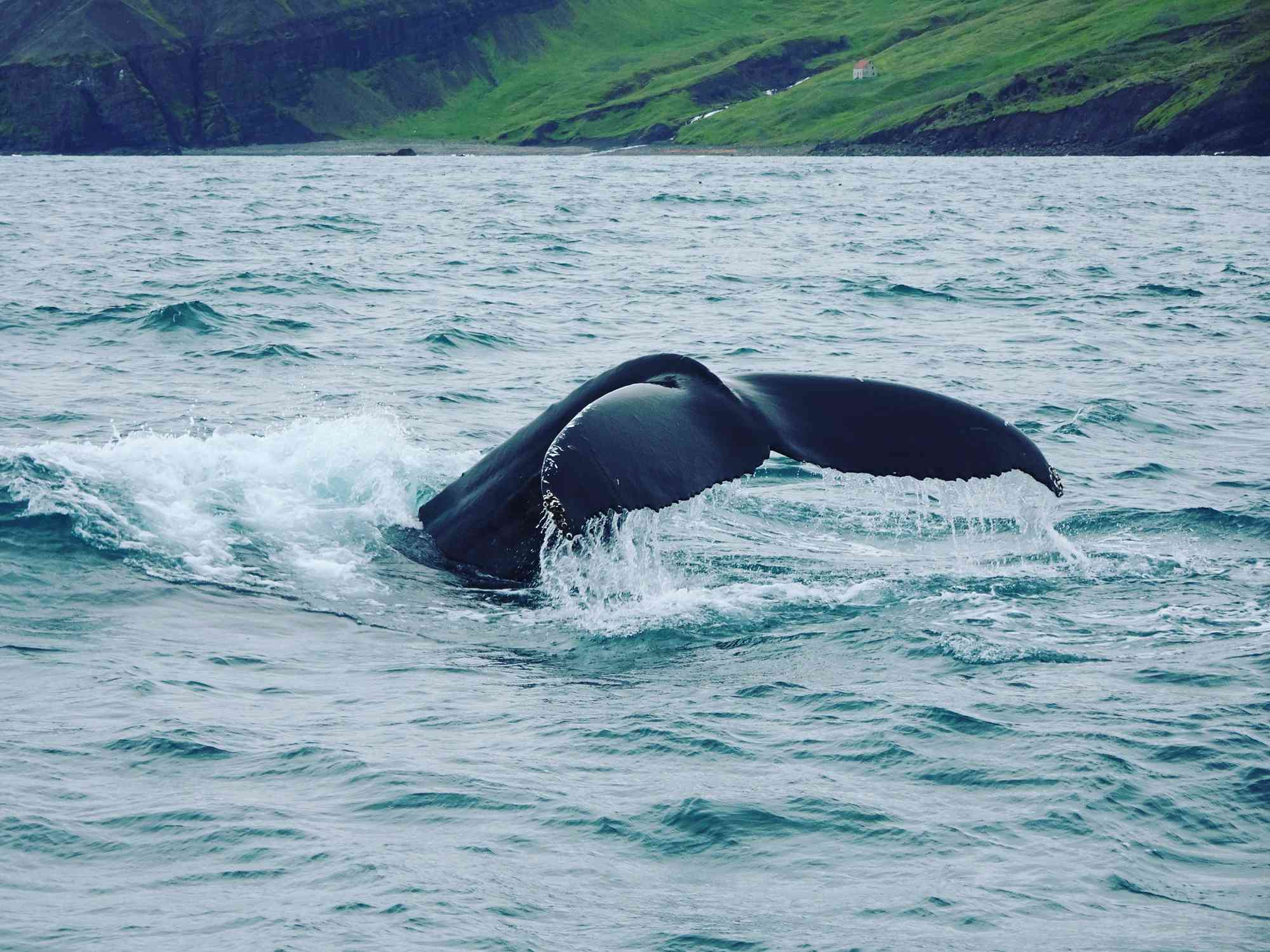 A whale swimming off the coast of Iceland.
