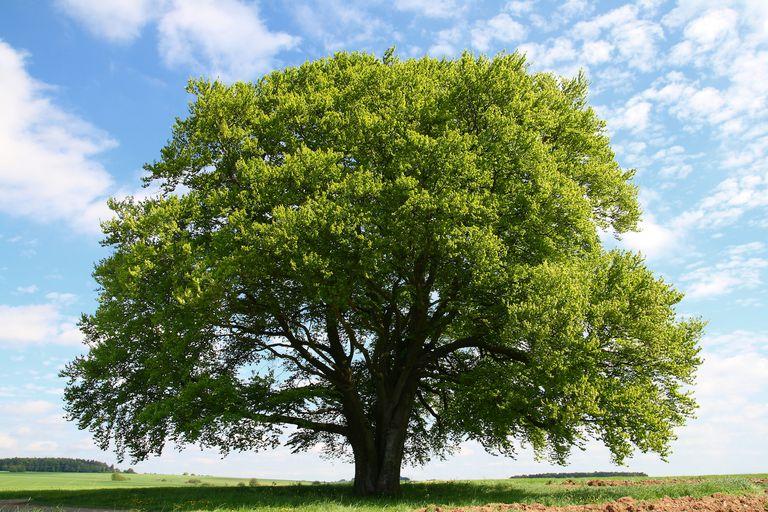 Beech tree with a blue sky
