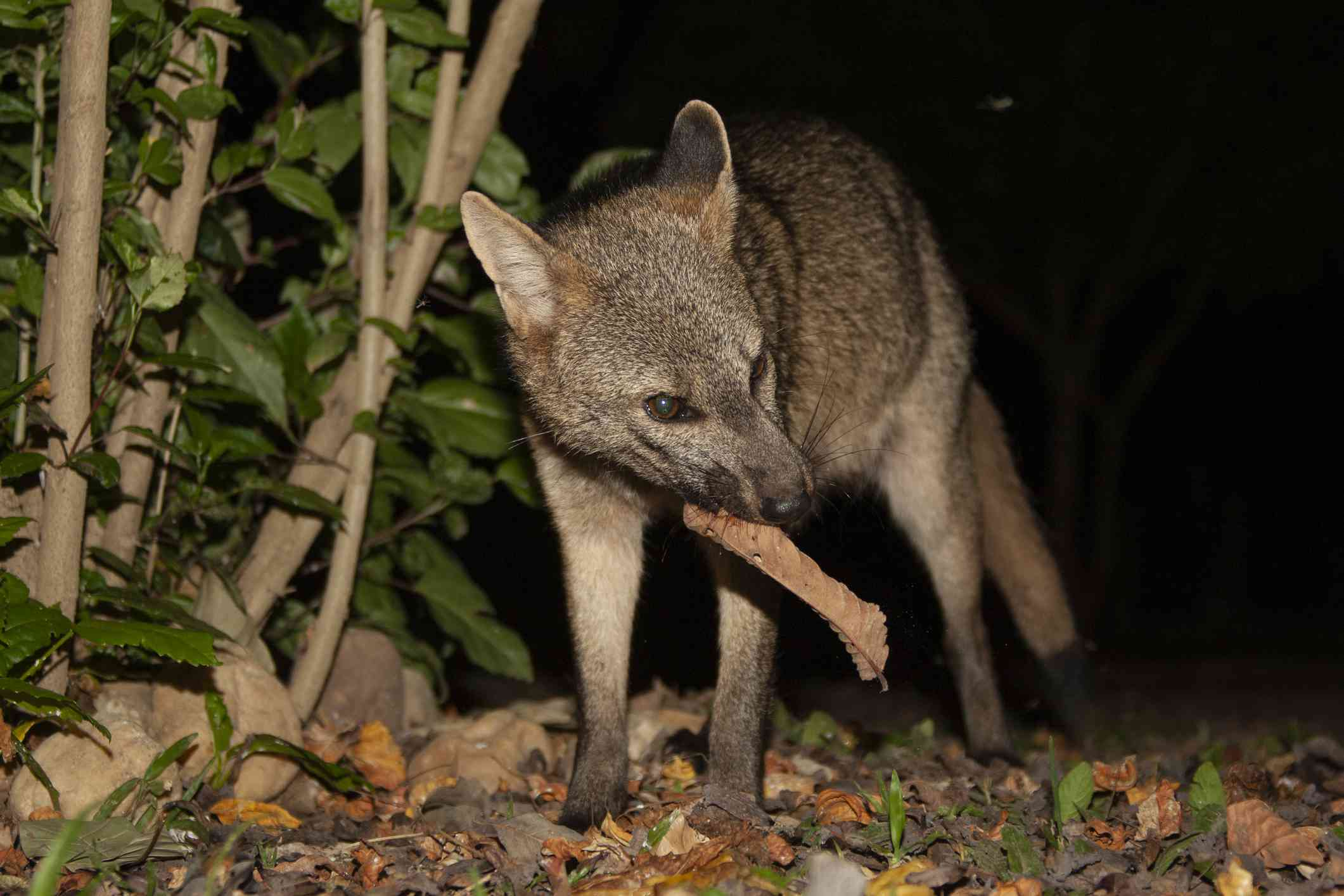 crab-eating fox looking for food at night