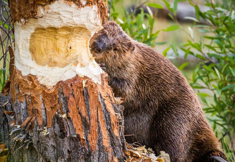 North American beaver chewing on a tree trunk.