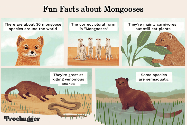 fun facts about mongooses