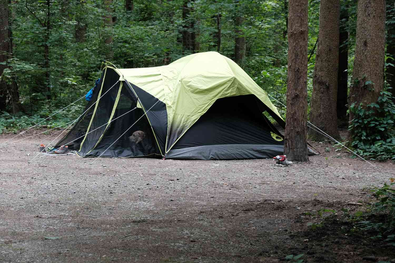 green and black tent in woods with dog peeking out from screen
