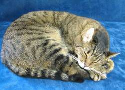 taxidermy cat sleeping