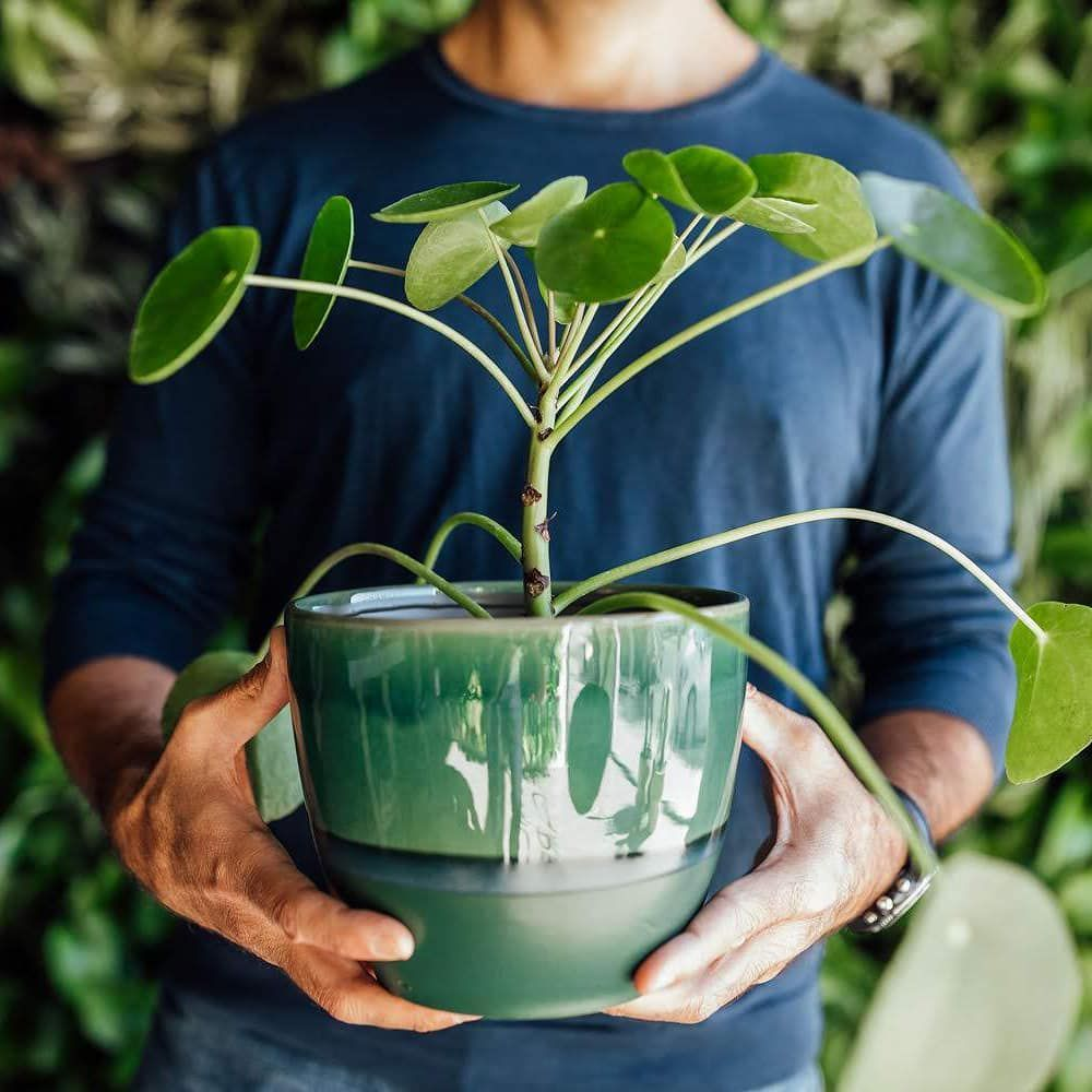 man holding chinese money plant in a ceramic pot