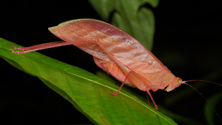 Pink katydid on a leaf