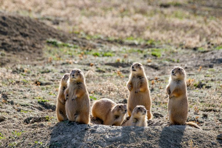 Group of prairie dogs standing at the opening of a mound. Four on hind legs, one on all four, one emerging from the mound