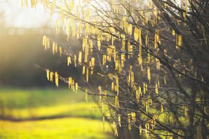 Spring nature background with amazing alder catkin blooming