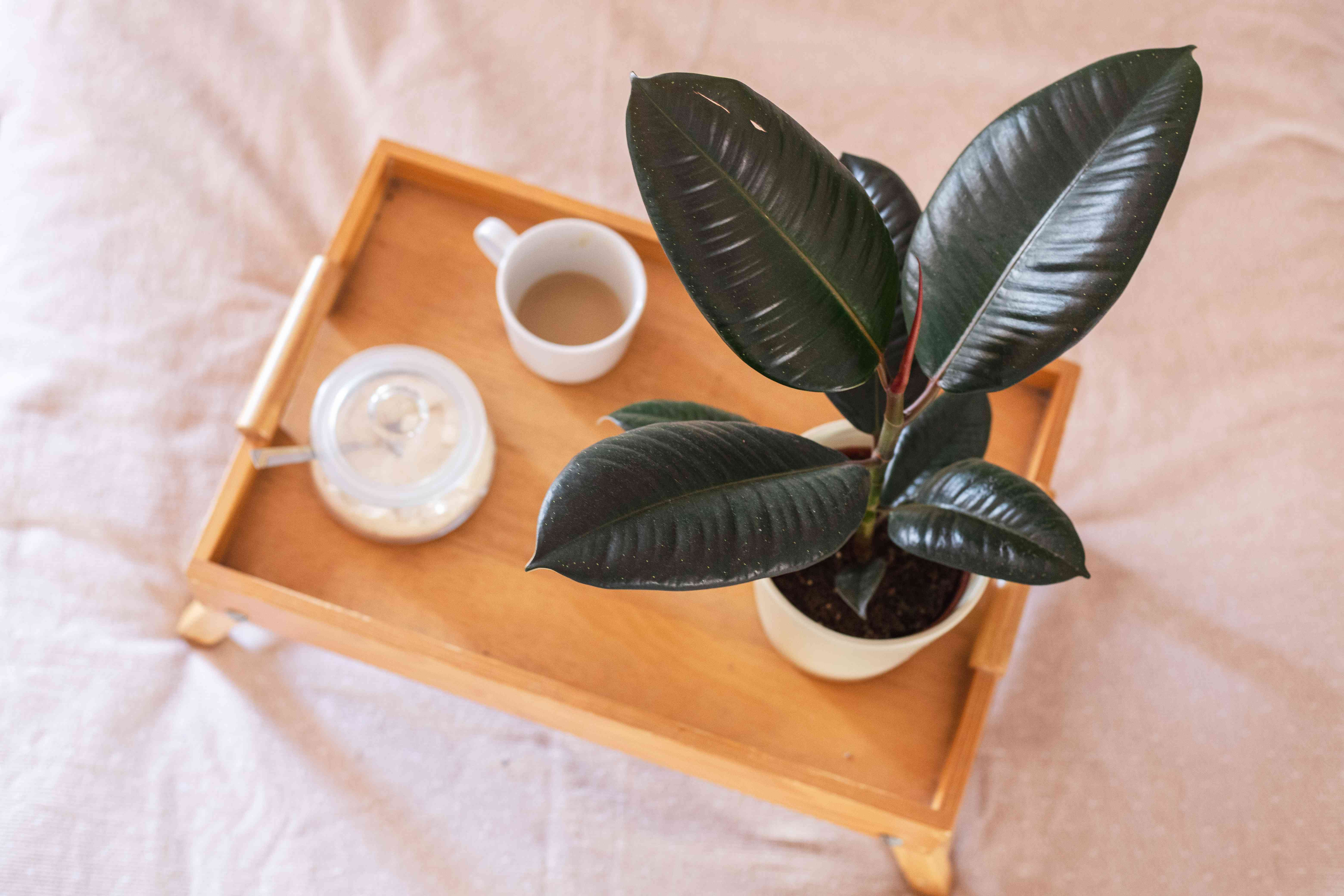 overhead shot of ficus rubber tree on bed tray with coffee