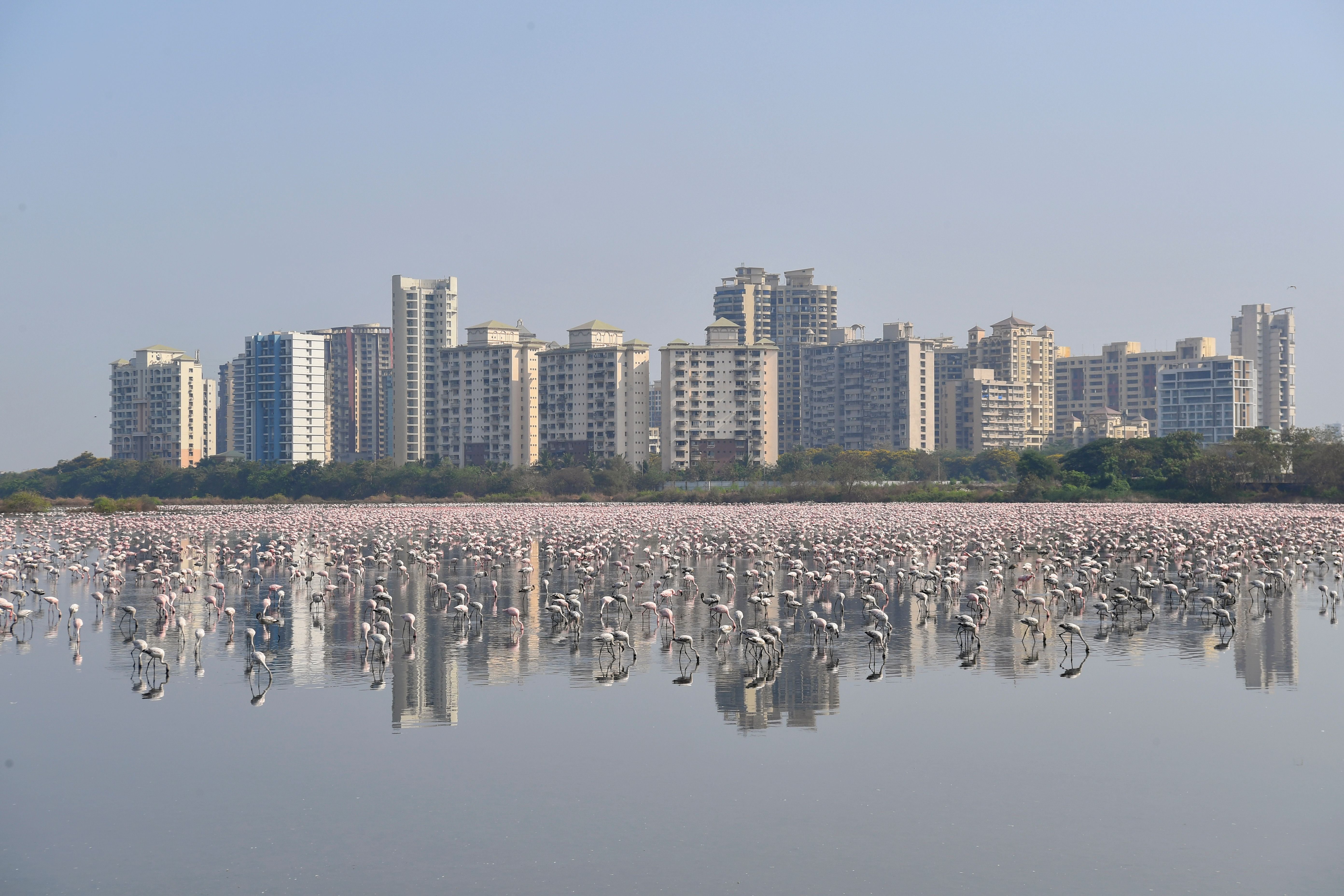Behold, a Sea of Pink Flamingos in Mumbai