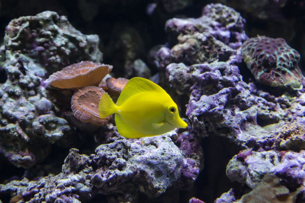 A yellow tang near a purple and white reef
