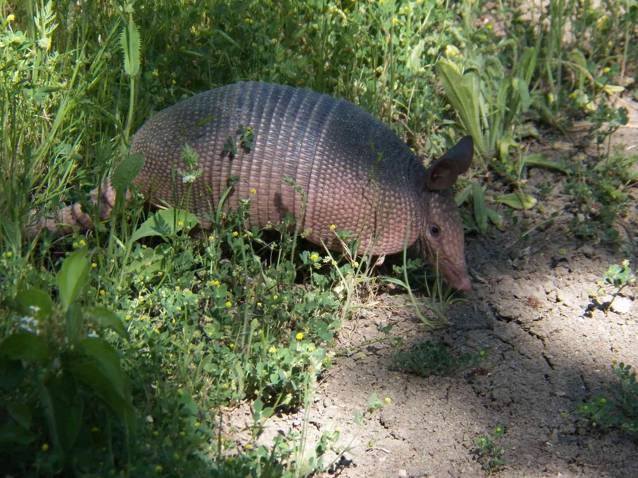 Nine-banded armadillo in green scrub on the side of a path