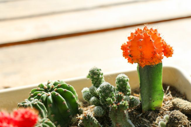 A cactus and its flower planted in a garden tray