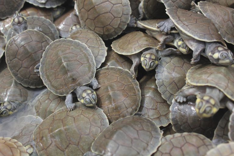Giant South American river turtle hatchlings
