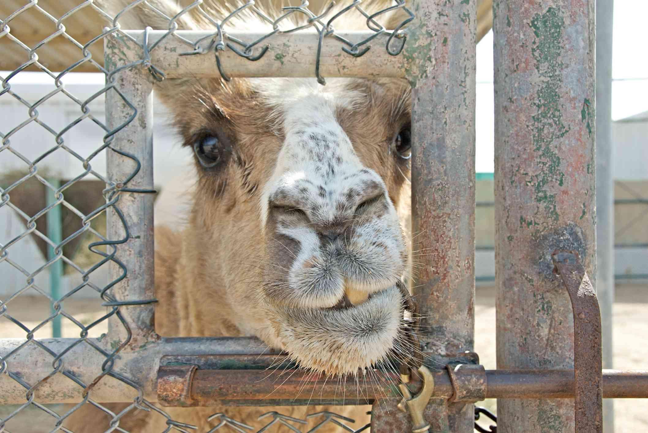 close up shot of cama half llama/camel through a gate