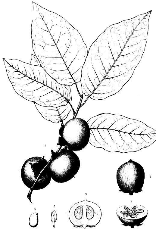 Persimmon, Diospyros virginiana