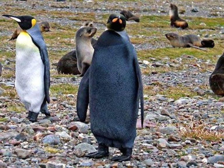 Pingüino totalmente negro descubierto, parece mal vestido