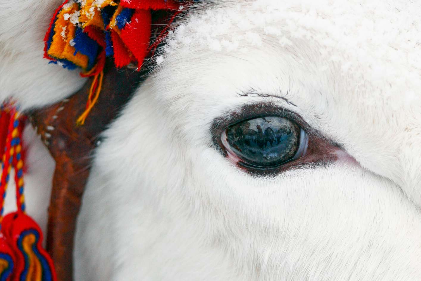A close-up shot of a white reindeer with a blue-brown eye