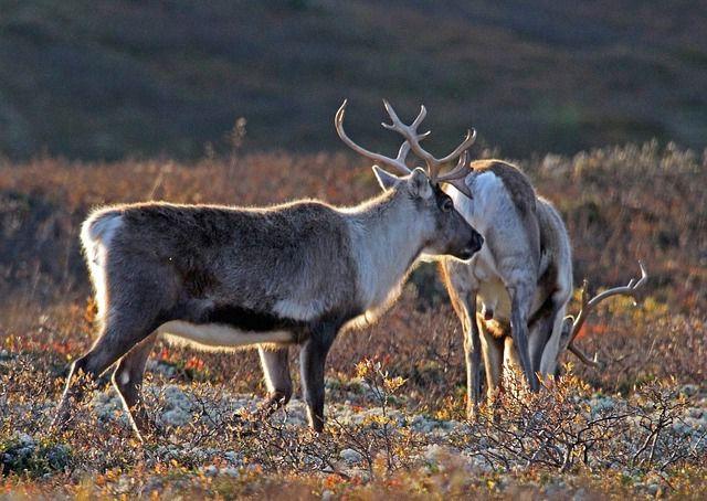 Noruega decide a favor de los renos salvajes sobre la energía