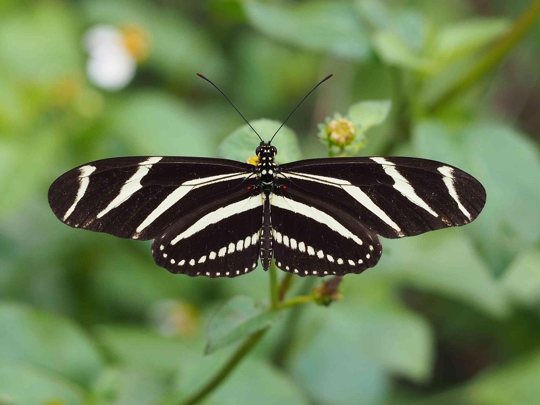 Zebra Wing