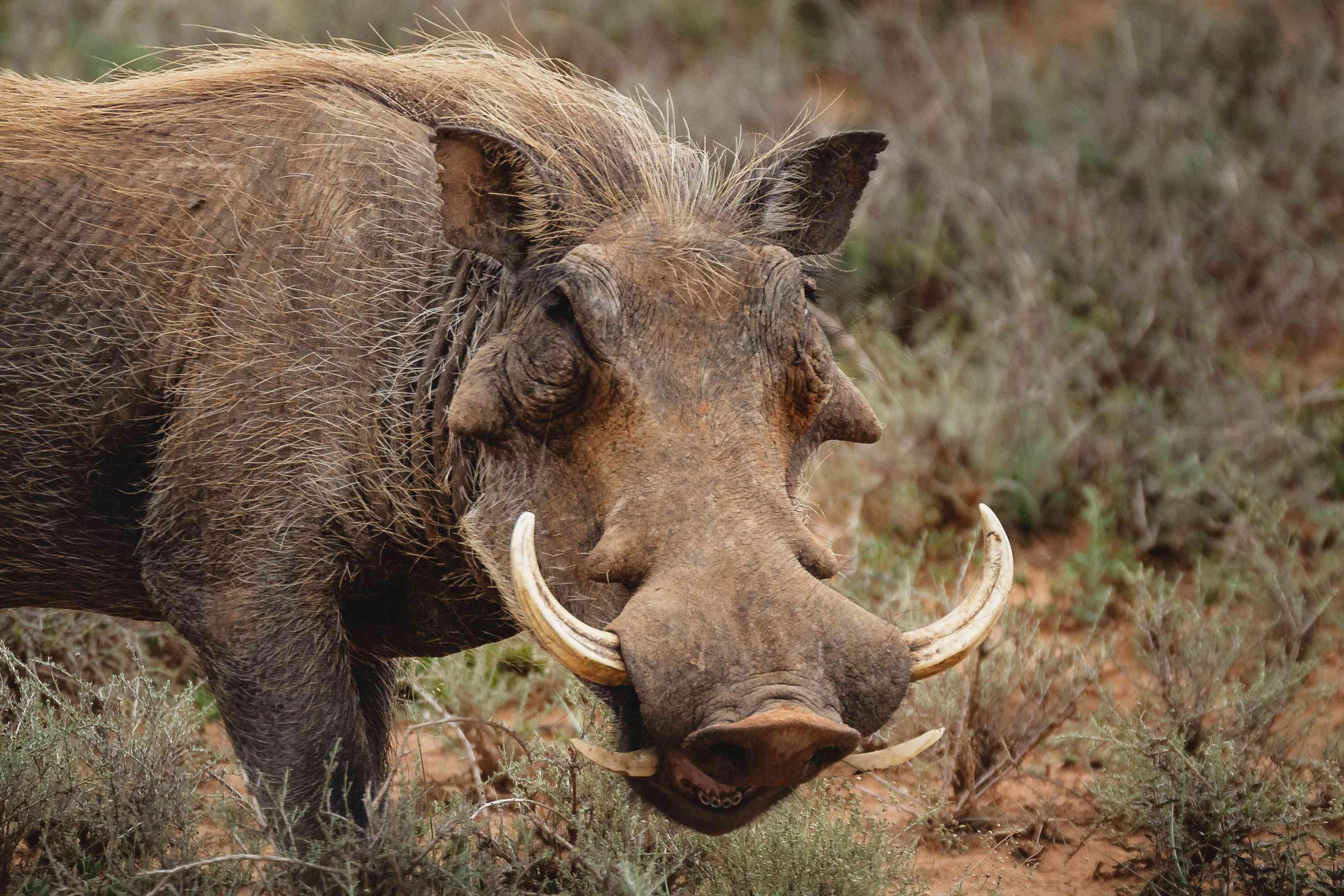 Close up view of warthog tusks
