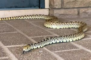 yellow and black bullsnake slithers on tiled patio outside