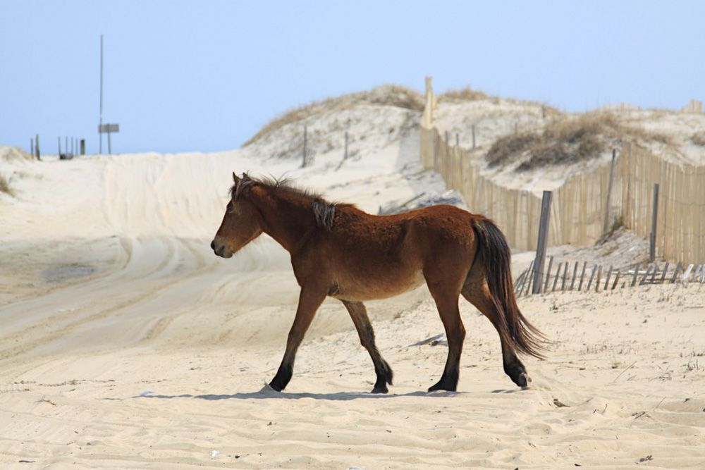 one brown horse walking on a white beach with a blue sky and sand dunes of Carova Beach, Outer Banks of North Carolina