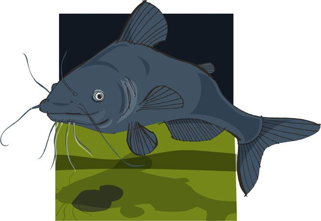 An illustration of a catfish