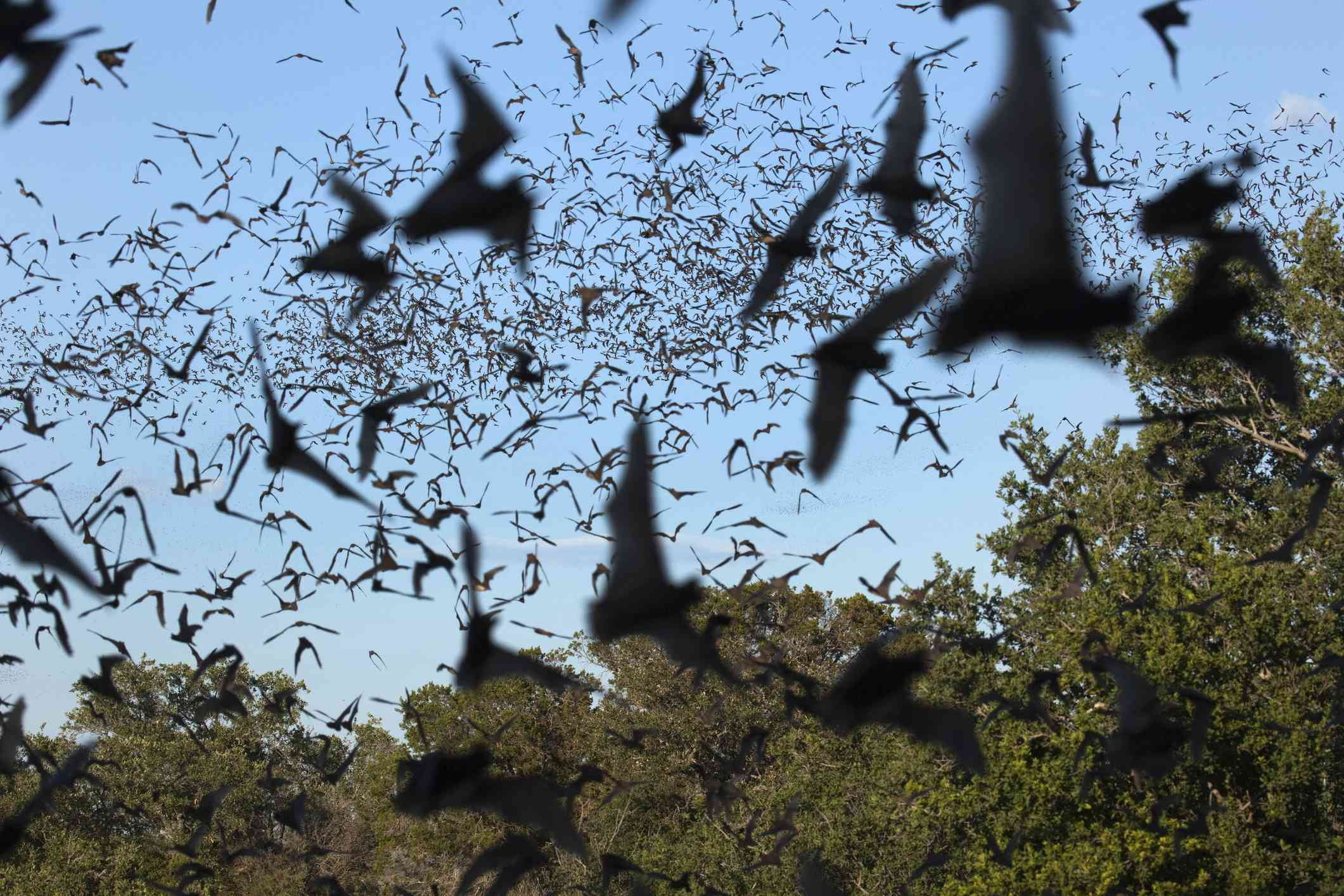 Swarm of Mexican-free tailed bats flying