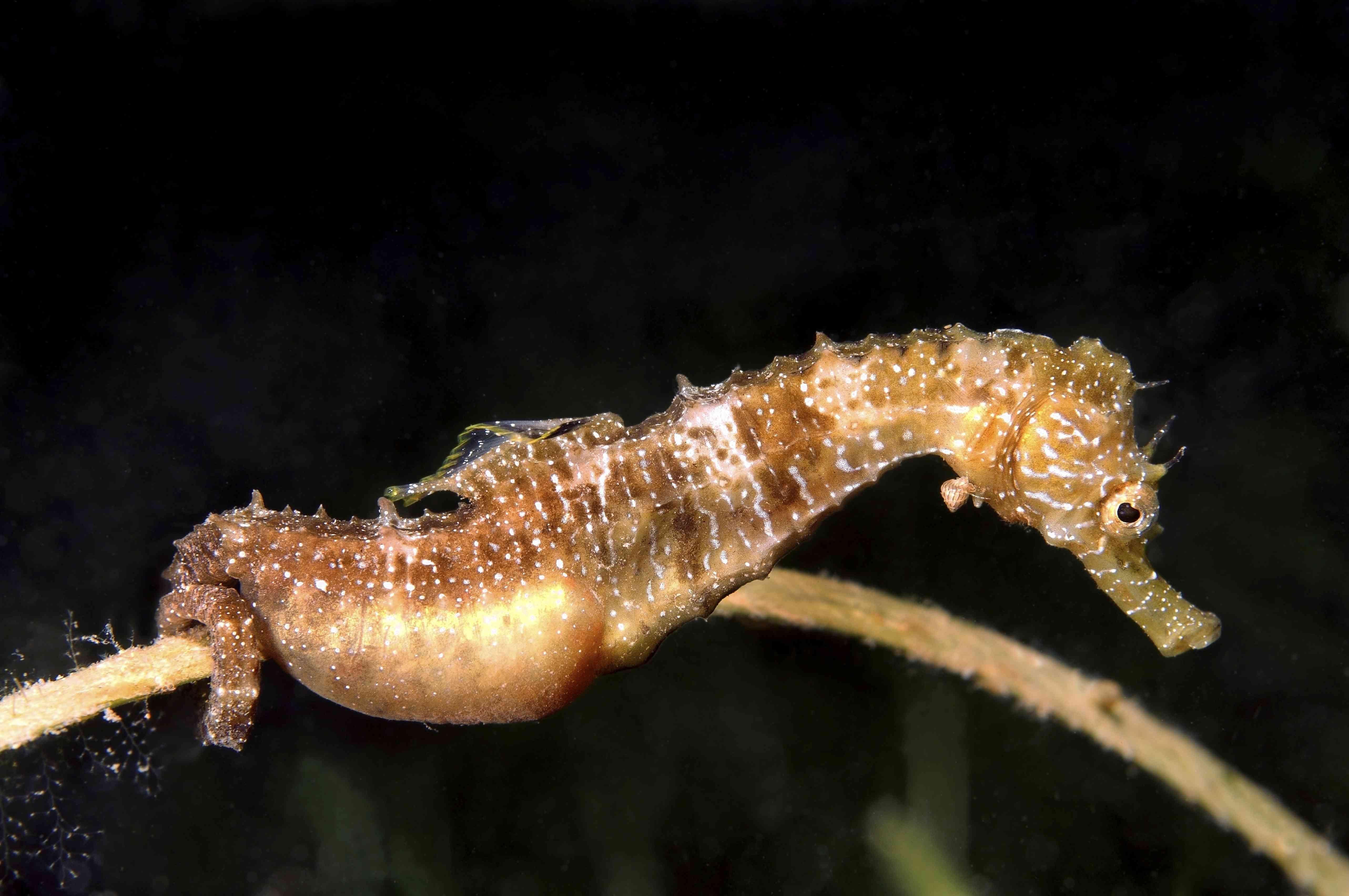 Short-snouted Seahorse -Hippocampus hippocampus-, male with eggs, Black Sea, Crimea, Ukraine