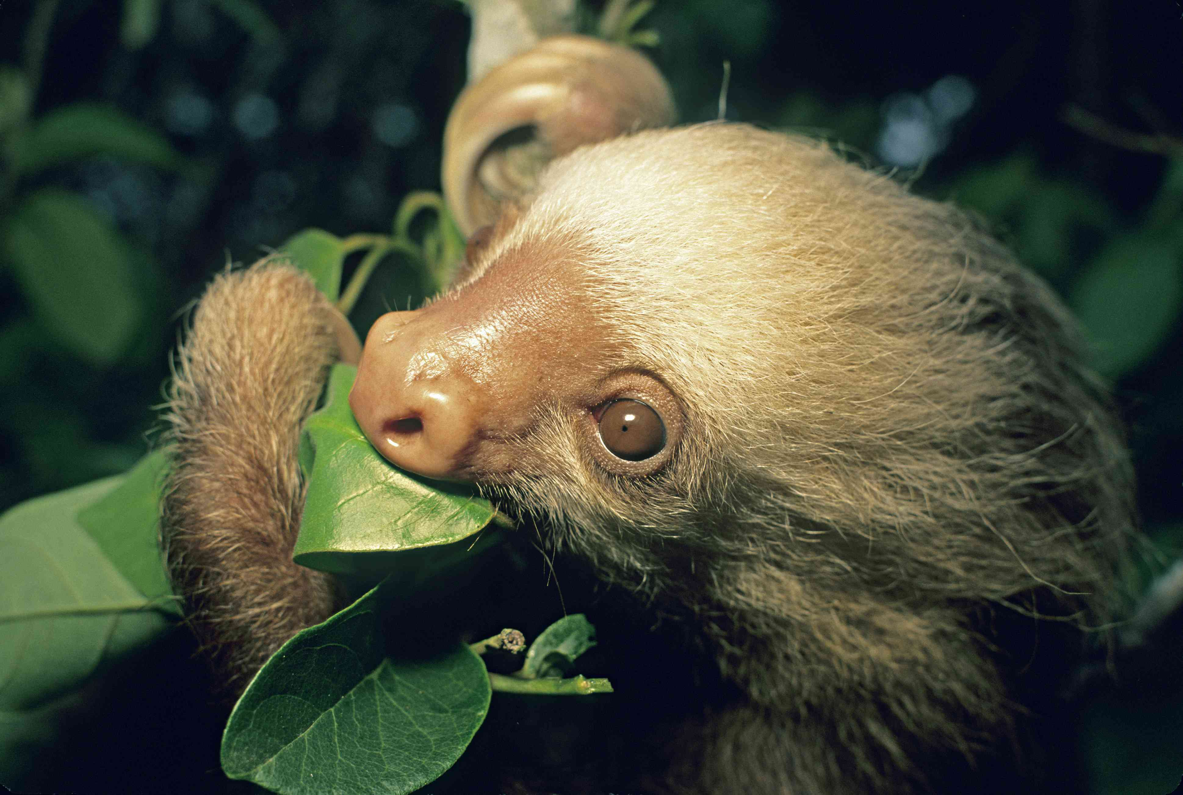 Hoffmans Two-toed Sloth, Choloepus hoffmanni, feeding. Monteverde Cloud Forest, Costa Rica