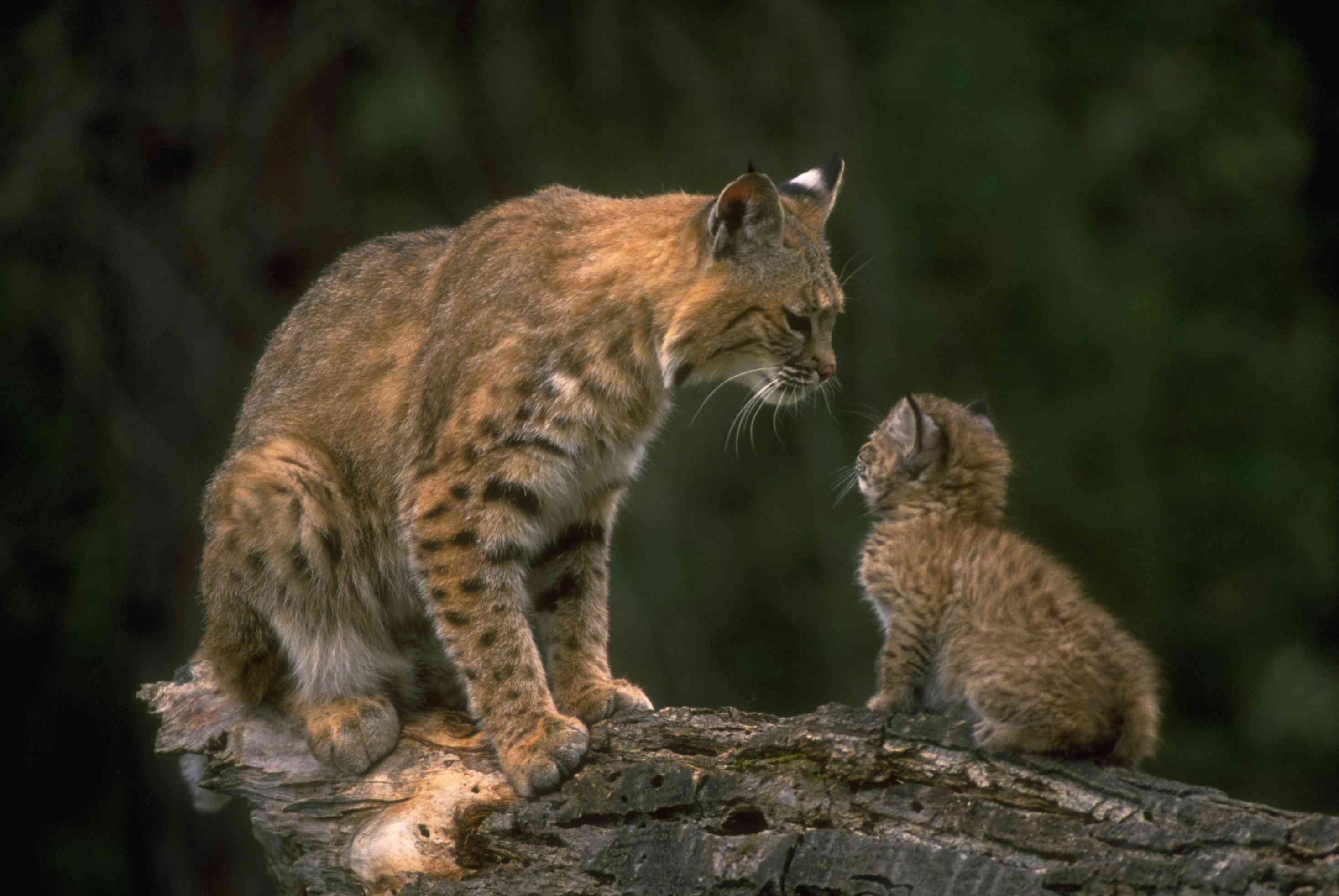 Mother and Young Bobcat