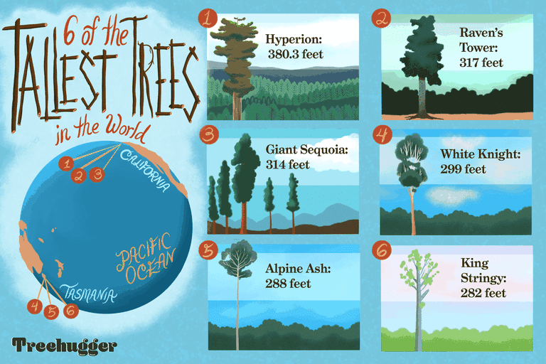 six of tallest trees in the world illustrated