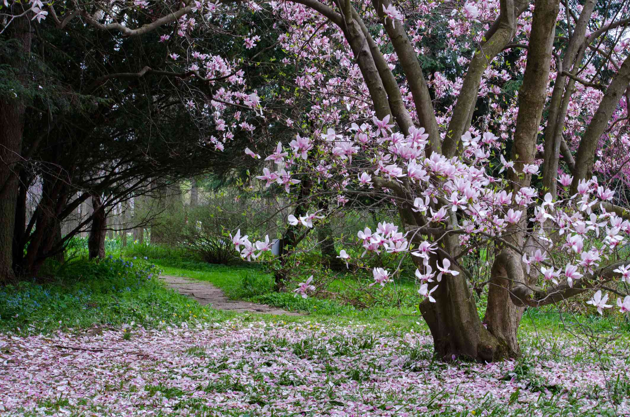 Pink saucer magnolia mature tree with blossoms falling on the ground.