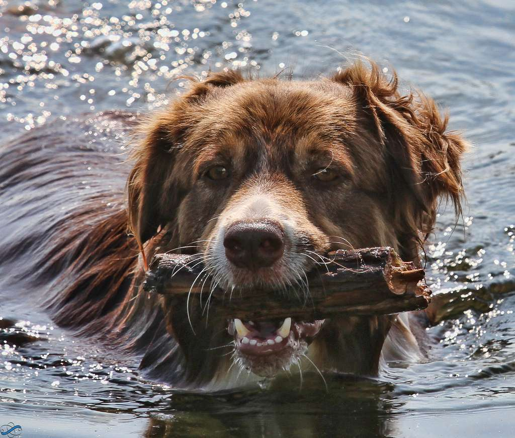 dog swims with stick