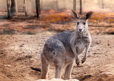 A baby kangaroo or joey saved from the wildfire.