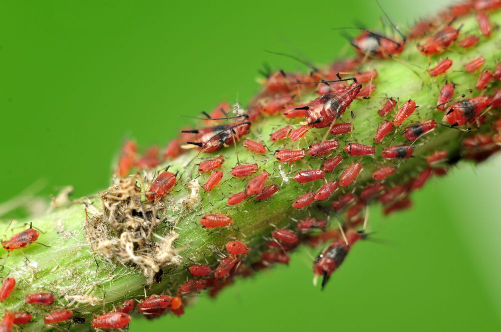 Red aphids infesting a plant