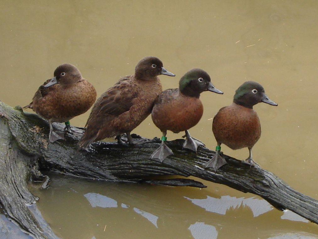four campbell teal birds on log above murky water