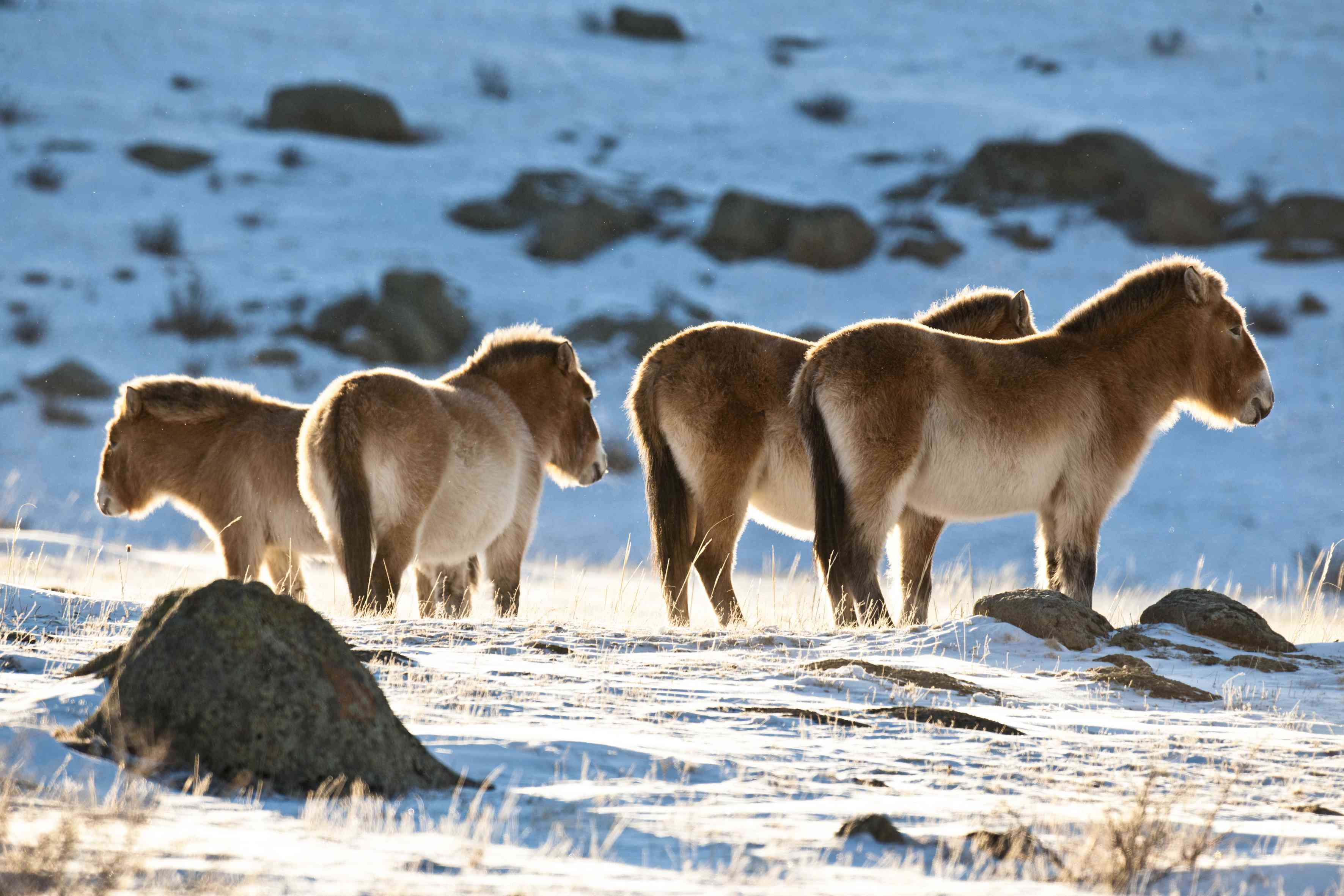 Przewalski's wild horses group with tails tucked close to bodies and backs to the wind