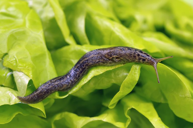 slug crawling on lettuce
