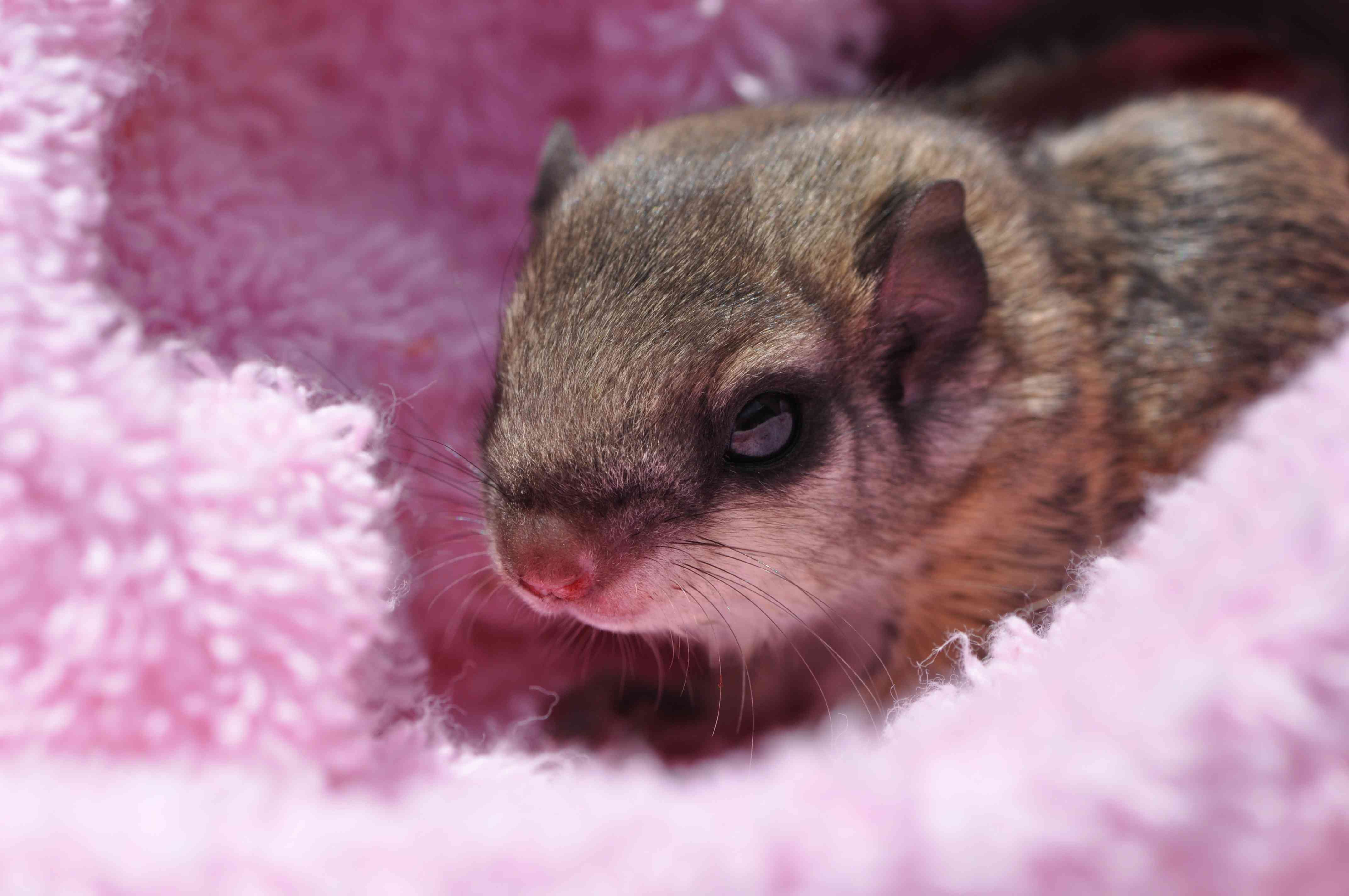 flying squirrel pup wrapped in pink blanket