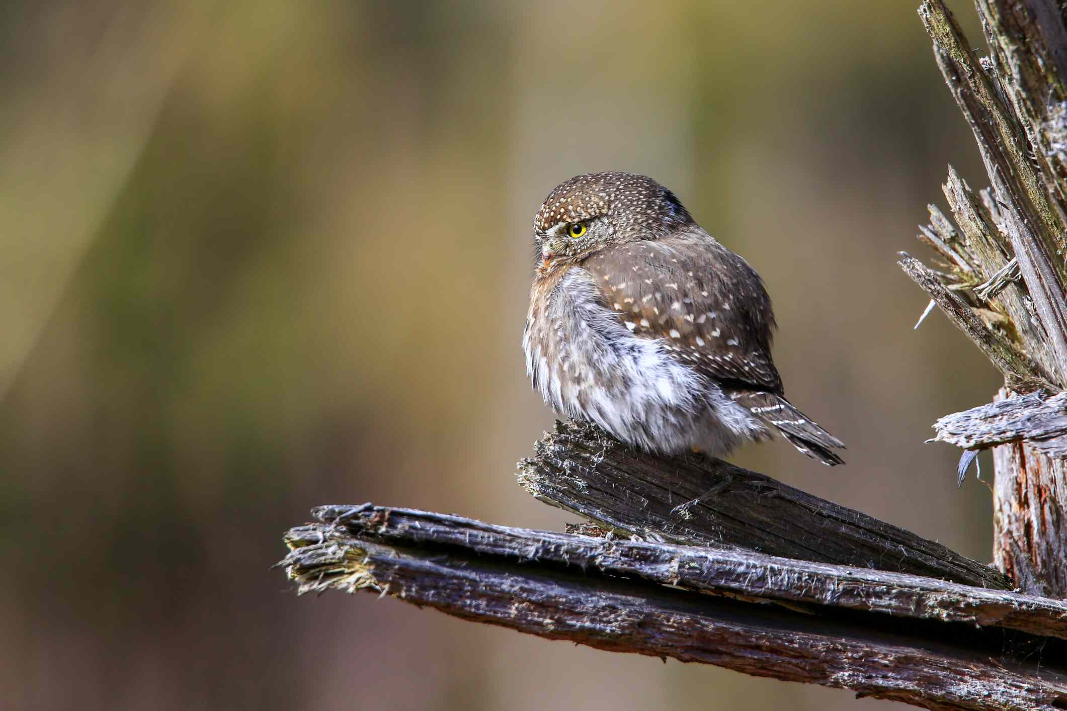 tan and white pygmy owl with yellow eyes sits on tree