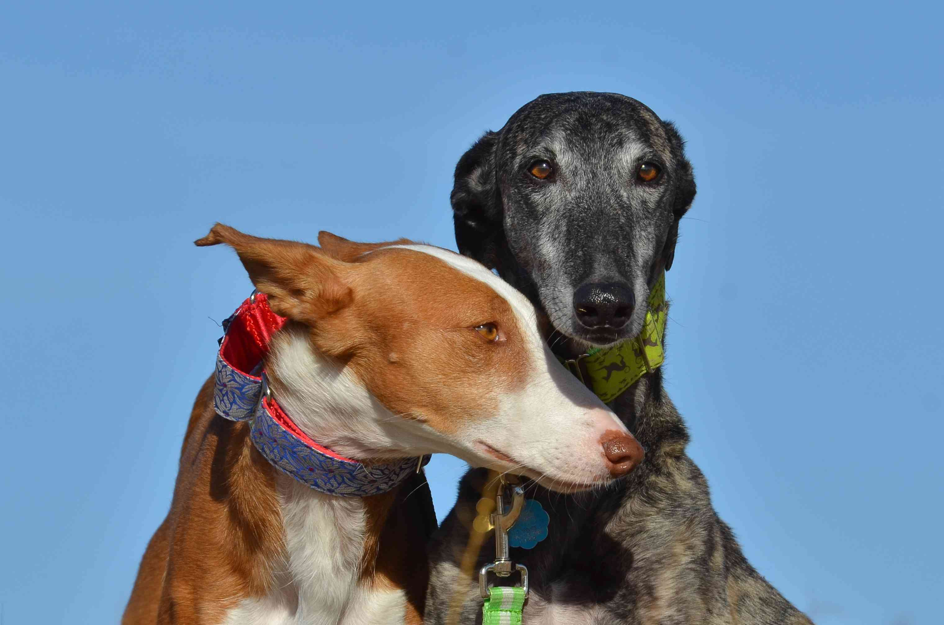 Two galgos close together, with blue sky in background