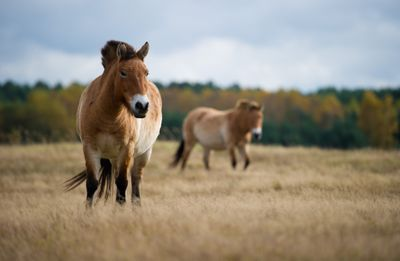 Two P-horses with stiff upright manes, stocky bodies and brown coats with stripes on legs like a zebra