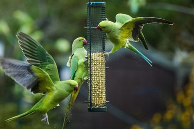 Parakeets eating seeds on a bird feeder in London.