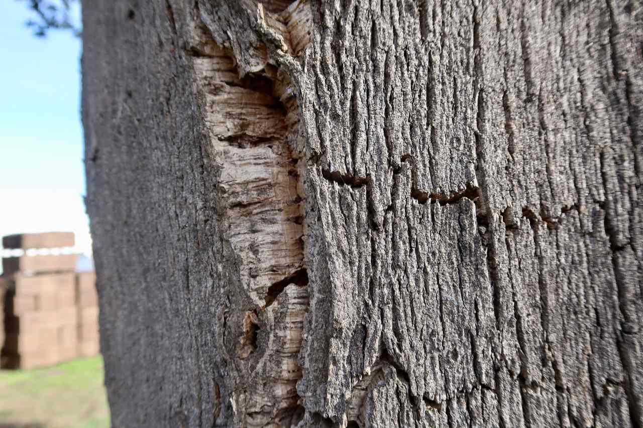 cork tree closeup